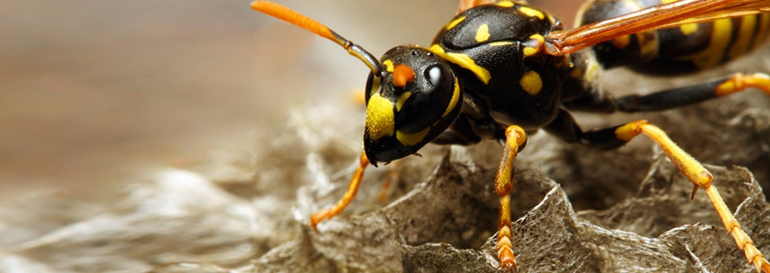 wasp-removal